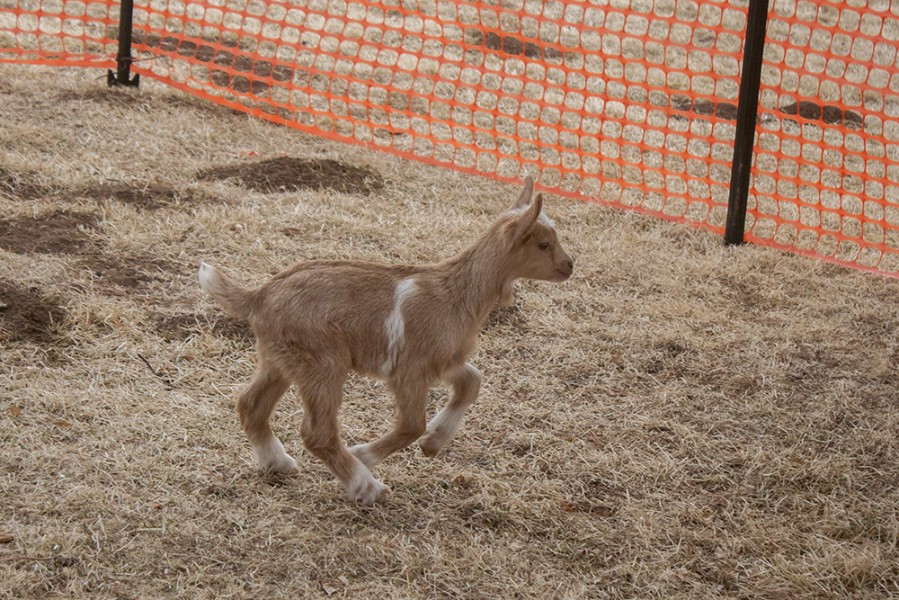 Introducing SFUAD's three baby goats. | The Jackalope