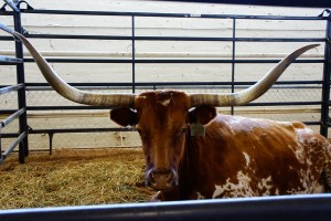 A long-horn steer awaiting auction at the New Mexico State Fair in Albuquerque on September 12, 2014. Photo by Luke E. Montavon/The Jackalope