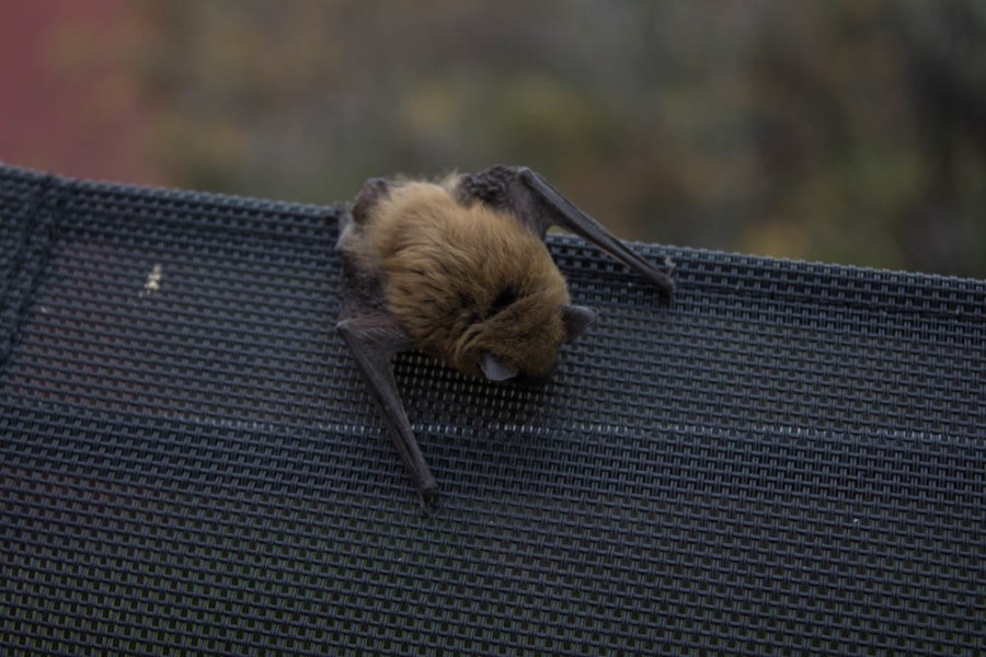 This bat can use the tip of its wings to capture food. Photo by Kyleigh Carter.