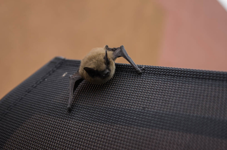 The little brown bat can consume its food while in flight. Photo by Kyleigh Carter.