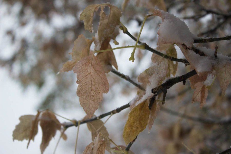 Snow covered leaves. Photo by Kyleigh Carter.