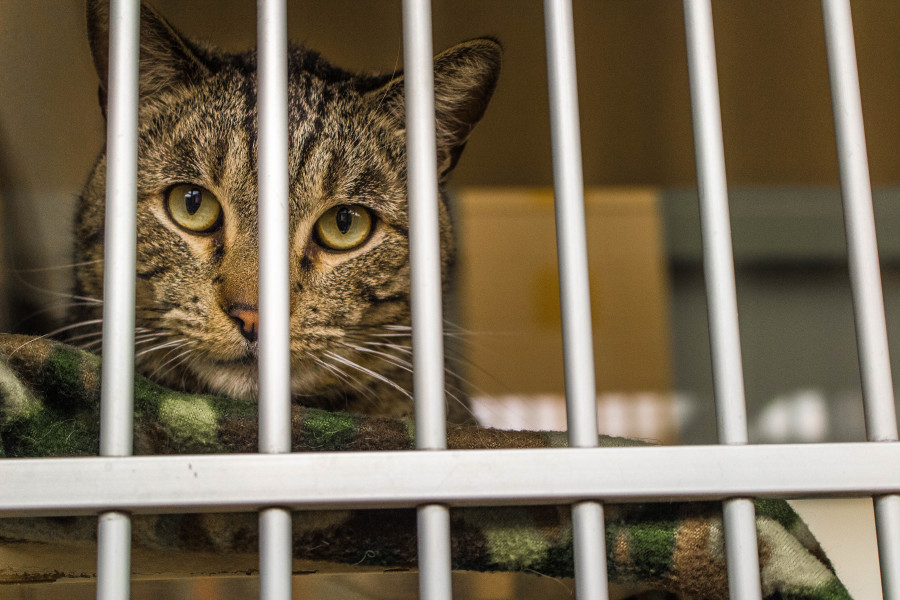 A cat available for adoption at the shelter. Photo by Marco Rivera