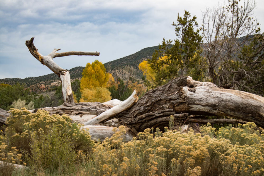 Remnants of a huge, old cottonwood tree along the bank of the Chama River. Photo credit: Chris Dorantes