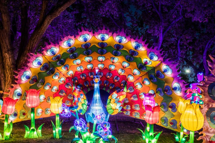 A beautiful peacock wanders among some lilies at the Chinese Lantern Festival. Photo by Chris Dorantes