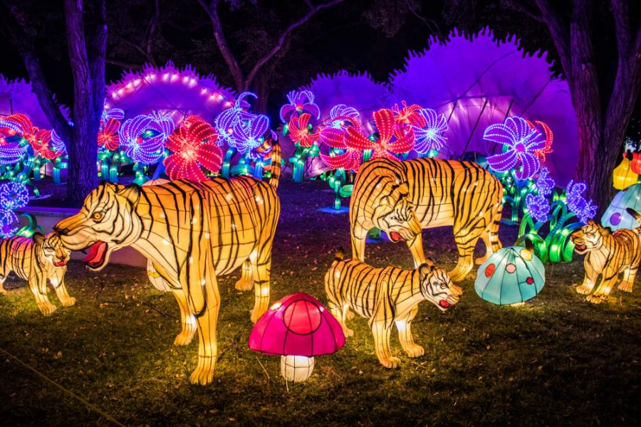 A family of tigers at the Chinese Lantern Festival in Albuquerque. Photo by Chris Dorantes