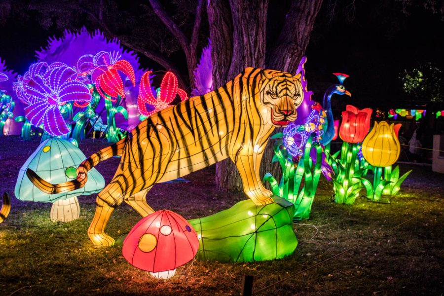 Getting stared down by a ferocious tiger at the Chinese Lantern Festival in Albuquerque. Photo by Chris Dorantes